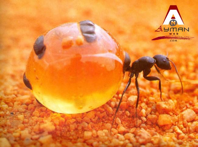 نــمــل العســل  Honeypot Ants !!