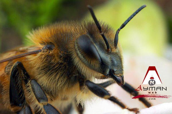 العسل لعلاج أمراض القلب…