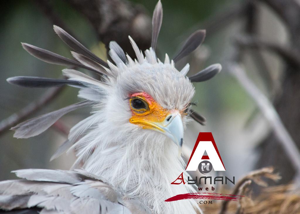 secretary_bird (4)